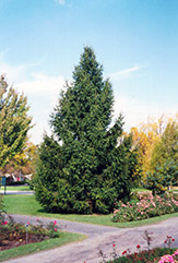 Norway Spruce (Picea abies) at TERRA