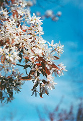 Robin Hill Serviceberry (Amelanchier x grandiflora 'Robin Hill') at TERRA