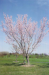Moongold Apricot (Prunus 'Moongold') at TERRA