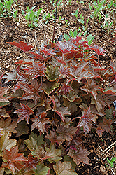 Palace Purple Coral Bells (Heuchera micrantha 'Palace Purple') at TERRA