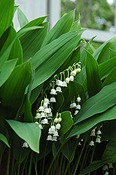 Lily-Of-The-Valley (Convallaria majalis) at TERRA