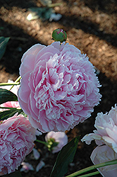 Shirley Temple Peony (Paeonia 'Shirley Temple') at TERRA