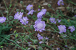 Butterfly Blue Pincushion Flower (Scabiosa 'Butterfly Blue') at TERRA