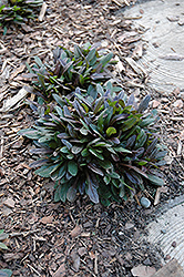 Chocolate Chip Bugleweed (Ajuga reptans 'Chocolate Chip') at TERRA