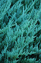 Blue Chip Juniper (Juniperus horizontalis 'Blue Chip') at TERRA