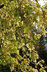 Silver Maple (Acer saccharinum) at TERRA
