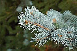 Blue Colorado Spruce (Picea pungens 'var. glauca') at TERRA