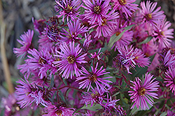 Woods Pink Aster (Aster 'Woods Pink') at TERRA