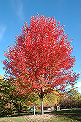 Autumn Blaze Maple (Acer x freemanii 'Jeffersred') at TERRA