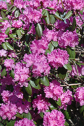 P.J.M. Rhododendron (Rhododendron 'P.J.M.') at TERRA