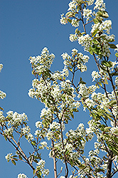 Allegheny Serviceberry (Amelanchier laevis) at TERRA