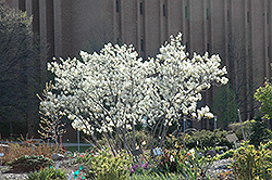 Autumn Brilliance Serviceberry (Amelanchier x grandiflora 'Autumn Brilliance') at TERRA