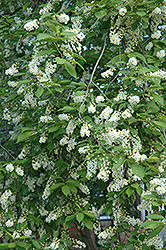 Schubert Chokecherry (Prunus virginiana 'Schubert') at TERRA