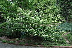 Pagoda Dogwood (Cornus alternifolia) at TERRA