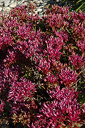 Dragon's Blood Stonecrop (Sedum spurium) at TERRA