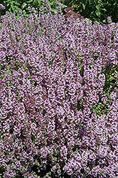 Mother-of-Thyme (Thymus praecox) at TERRA