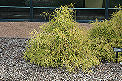Sungold Falsecypress (Chamaecyparis pisifera 'Sungold') at TERRA