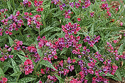 Raspberry Splash Lungwort (Pulmonaria 'Raspberry Splash') at TERRA