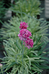 Nifty Thrifty Sea Thrift (Armeria maritima 'Nifty Thrifty') at TERRA