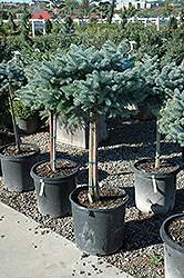 Globe Blue Spruce (tree form) (Picea pungens 'Globosa (tree form)') at TERRA