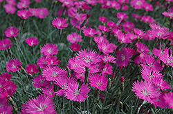 Firewitch Pinks (Dianthus gratianopolitanus 'Firewitch') at TERRA