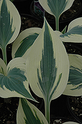 Blue Ivory Hosta (Hosta 'Blue Ivory') at TERRA