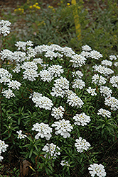Purity Candytuft (Iberis sempervirens 'Purity') at TERRA