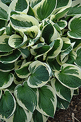 Patriot Hosta (Hosta 'Patriot') at TERRA