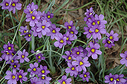 Lucerne Blue-Eyed Grass (Sisyrinchium angustifolium 'Lucerne') at TERRA