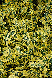 Emerald 'n' Gold Wintercreeper (Euonymus fortunei 'Emerald 'n' Gold') at TERRA
