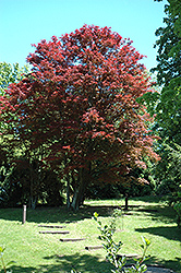 Purple-Leaf Japanese Maple (Acer palmatum 'Atropurpureum') at TERRA