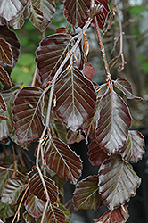 Purple Fountain Beech (Fagus sylvatica 'Purple Fountain') at TERRA