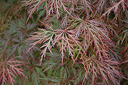 Orangeola Cutleaf Japanese Maple (Acer palmatum 'Orangeola') at TERRA