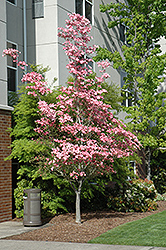 Cherokee Brave Flowering Dogwood (Cornus florida 'Cherokee Brave') at TERRA