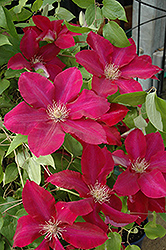 Rebecca Clematis (Clematis 'Rebecca') at TERRA