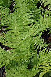 The King Ostrich Fern (Matteuccia 'The King') at TERRA