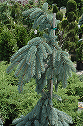 The Blues Colorado Blue Spruce (Picea pungens 'The Blues') at TERRA