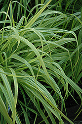 Dallas Blues Switch Grass (Panicum virgatum 'Dallas Blues') at TERRA