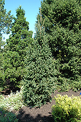 Columnar Norway Spruce (Picea abies 'Cupressina') at TERRA