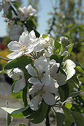 Cortland Apple (Malus 'Cortland') at TERRA