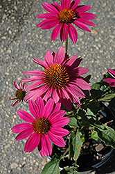PowWow Wild Berry Coneflower (Echinacea purpurea 'PowWow Wild Berry') at TERRA