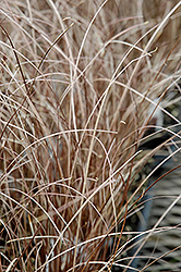 Leatherleaf Sedge (Carex buchananii) at TERRA