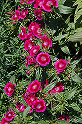 Barbarini Purple Bicolor Sweet William (Dianthus barbatus 'Barbarini Purple Bicolor') at TERRA