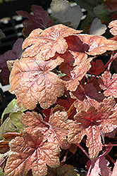 Brass Lantern Foamy Bells (Heucherella 'Brass Lantern') at TERRA