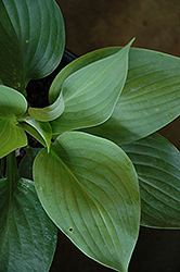 Empress Wu Hosta (Hosta 'Empress Wu') at TERRA