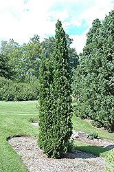 Degroot's Spire Arborvitae (Thuja occidentalis 'Degroot's Spire') at TERRA