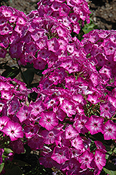 Early Start™ Purple Garden Phlox (Phlox paniculata 'Early Start Purple') at TERRA