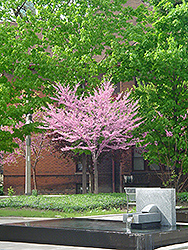 Eastern Redbud (tree form) (Cercis canadensis '(tree form)') at TERRA
