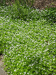 Sweet Woodruff (Galium odoratum) at TERRA