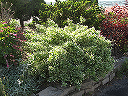 Emerald Gaiety Wintercreeper (Euonymus fortunei 'Emerald Gaiety') at TERRA
